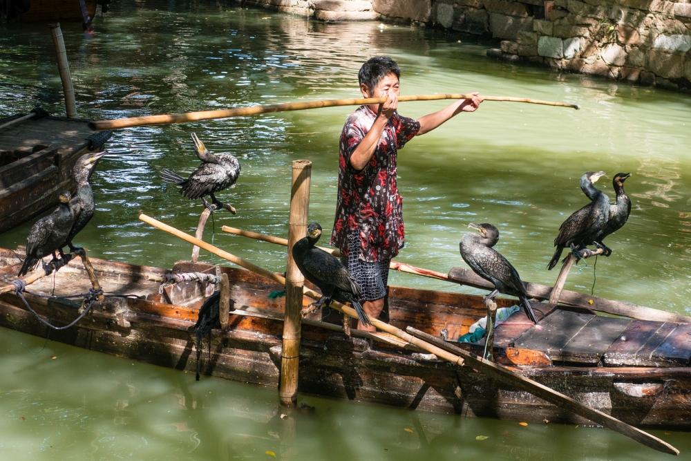 Kormorane in der Altstadt von Tongli / Jiangsu / China