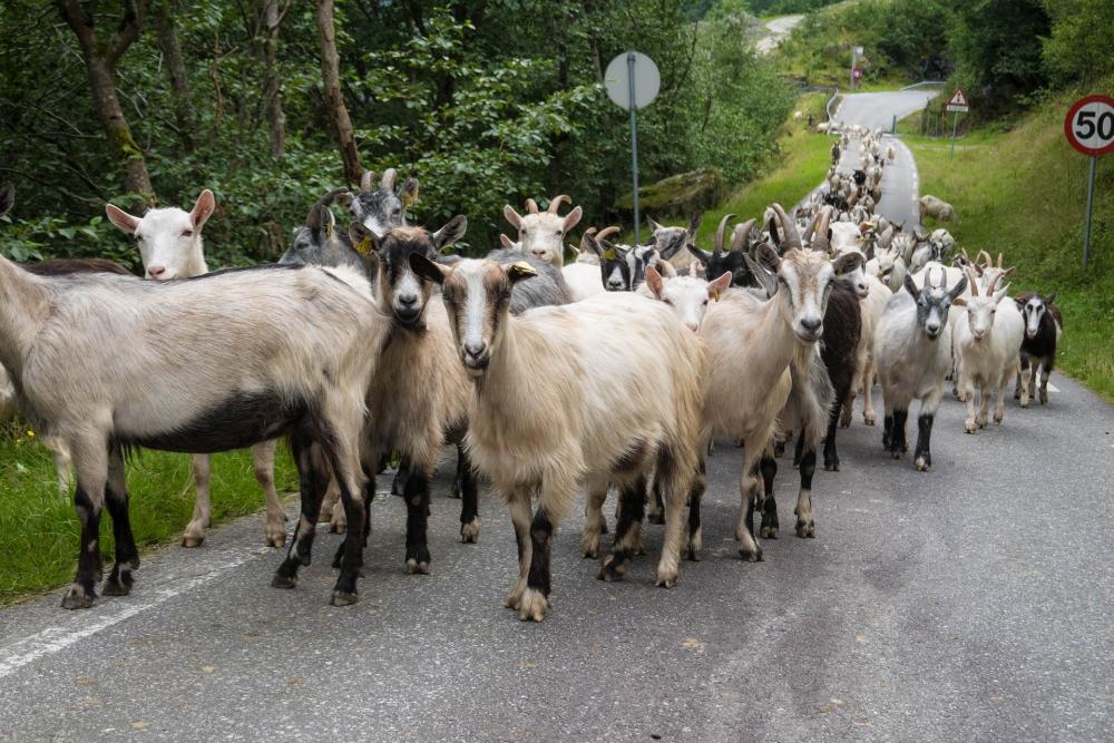 Ziegen am Nærøyfjord in Norwegen