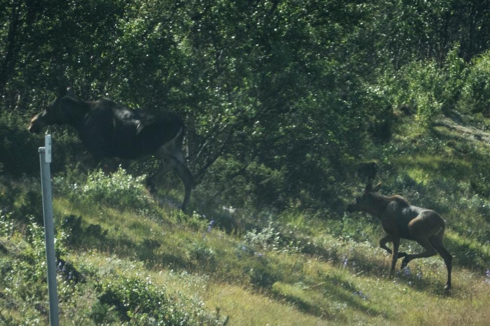 Elche bei unserer Fahrt ins Østlandet in Norwegen