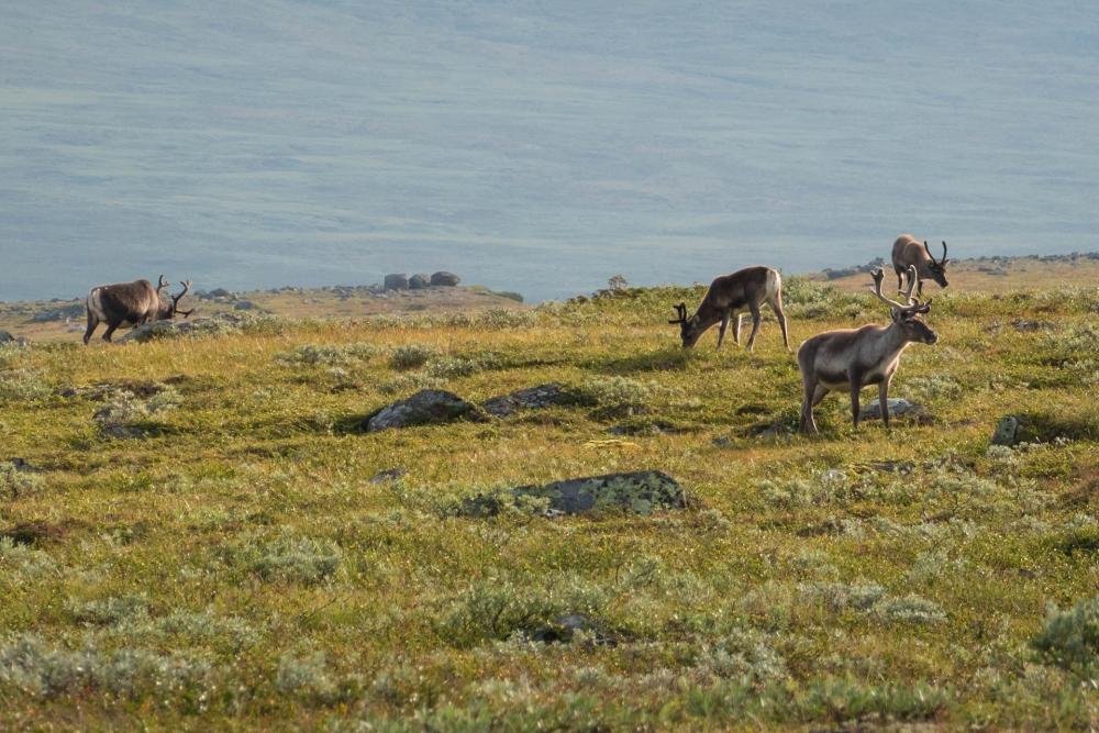 Rentiere im Nationalpark Jotunheimen in Norwegen