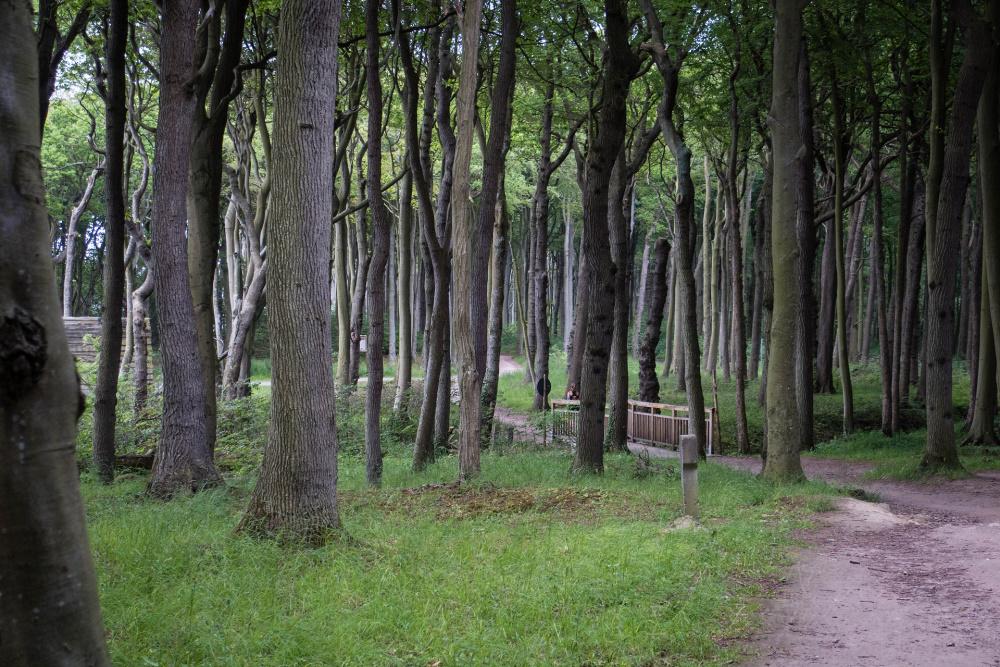 knorrige Buchen im Nienhäger Gespensterwald bei Heiligendamm
