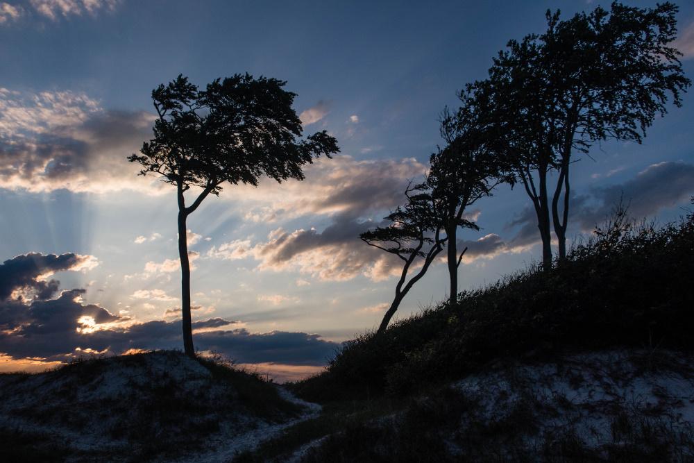 Windflüchter am Darßer Weststrand
